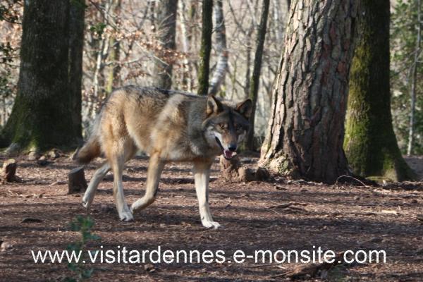 loups parc argonne 2014 (1)